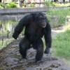 Chimp Plots Rock Attacks