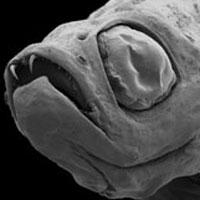 Dracula fish