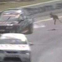 Kangaroo on Track