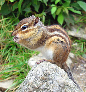 Killer chipmunks set to invade the UK? Maybe!